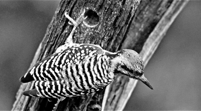 TO A WOODPECKER
