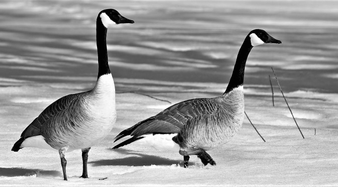 A Canadian Goose Landed in Her Throat