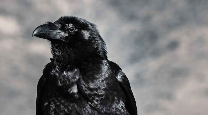 Crow in mulberry, the darkest eye of all